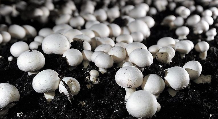 Rise in Consumption of Mushroom Expected to Drive Global Mushroom Cultivation Market: Ken Research