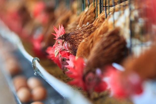Future Growth of Global Organic Poultry Market: Ken Research
